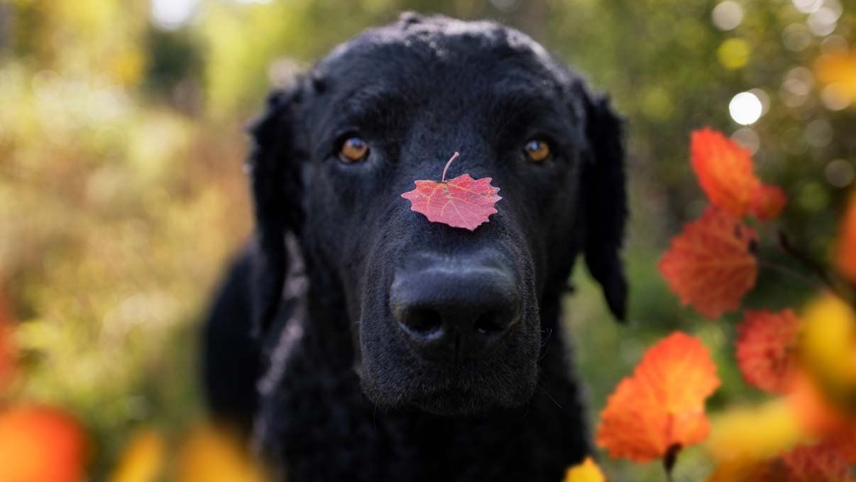 autumn leaf on Kaffe's muzzle